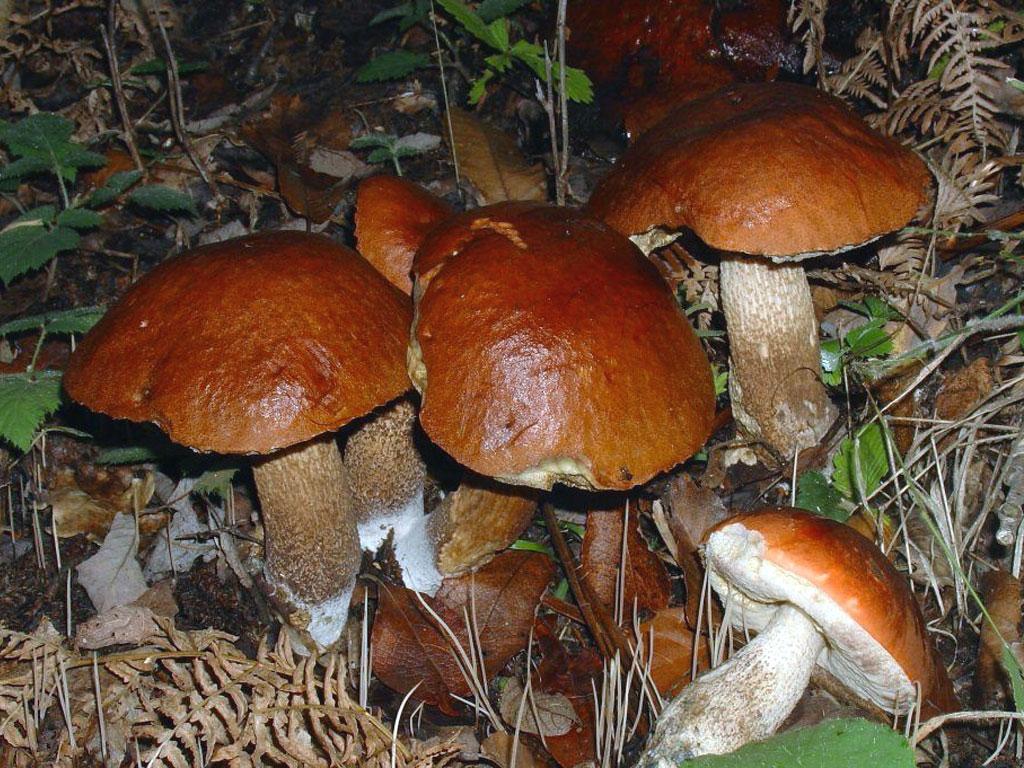 Ricette con funghi porcinelli for Cucinare funghi